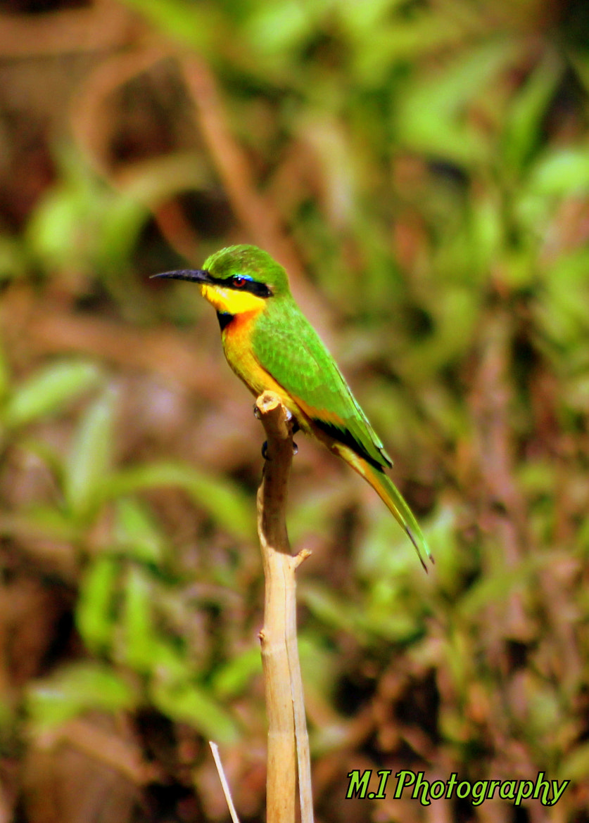 Photograph Little Bee Eater  by Mohamed Ismael on 500px