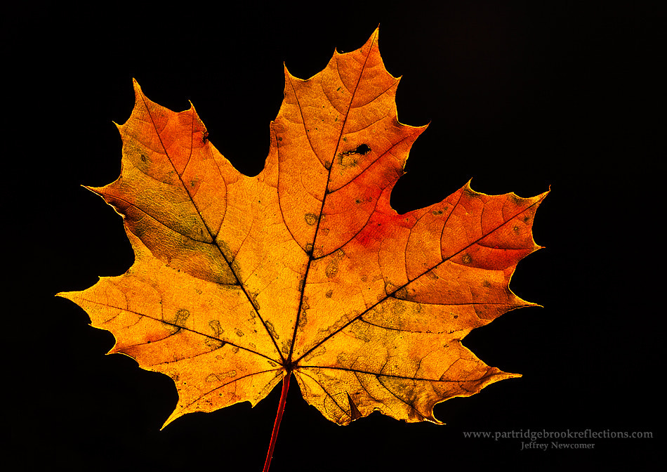 Photograph Maple Study by Jeffrey Newcomer on 500px