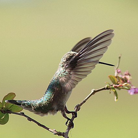 Beauty of a Hummingbird, Canon EOS REBEL T5I, Tamron AF Aspherical 28-200mm f/3.8-5.6