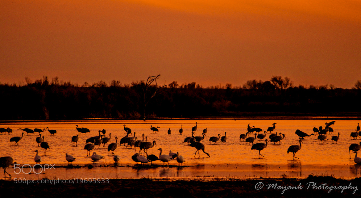 Photograph Sandhill Cranes by Mayank M. on 500px