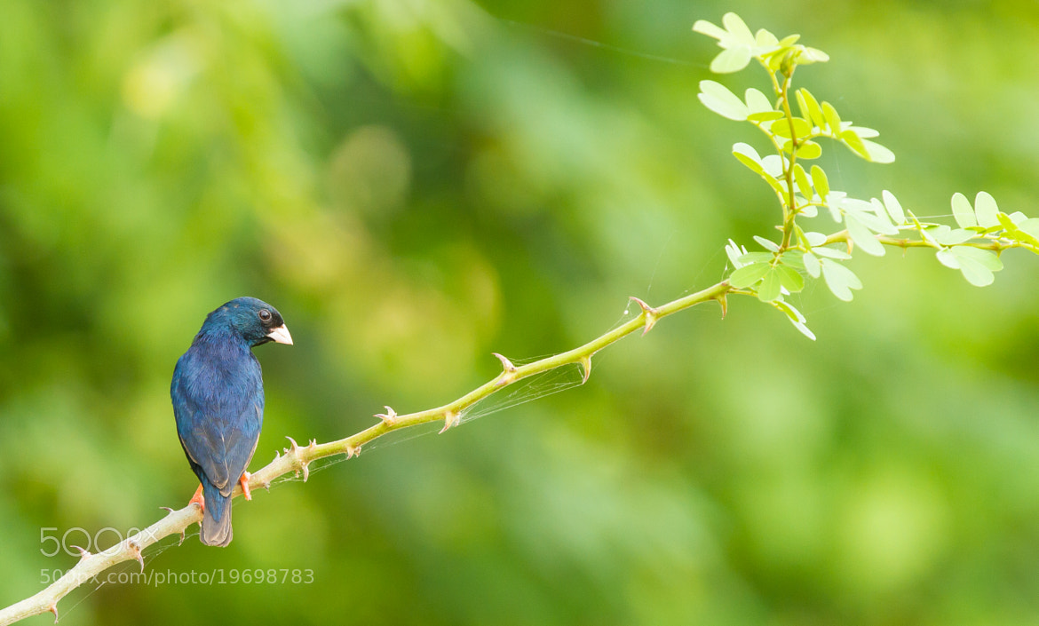 Photograph Village Indigobird by Ian Billenness on 500px