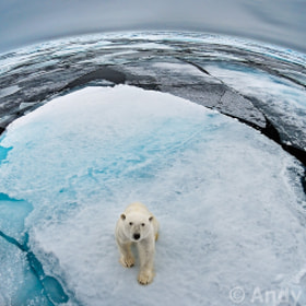 Bear at the Top of the World by Andy Rouse (andyrouse)) on 500px.com