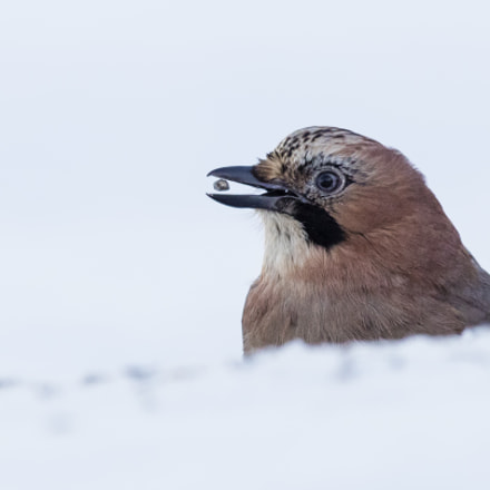 a levitating seed!, Canon EOS-1D X MARK II, Canon EF 400mm f/4 DO IS