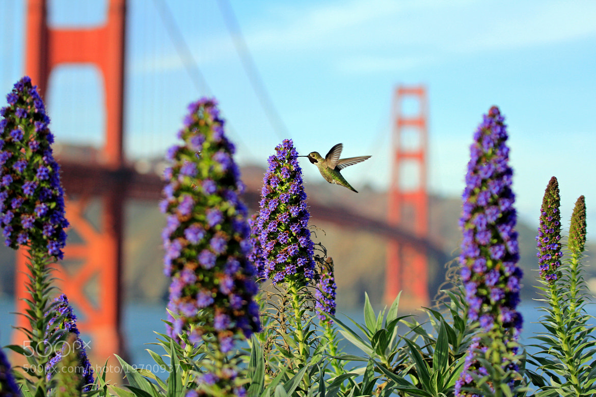 Photograph Golden Gate humming bird by Parker Jackson on 500px