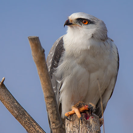 Black-winged Kite, Canon EOS-1D X, Canon EF 600mm f/4L IS + 1.4x