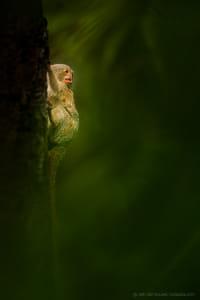 Pygmy Marmoset | Peru