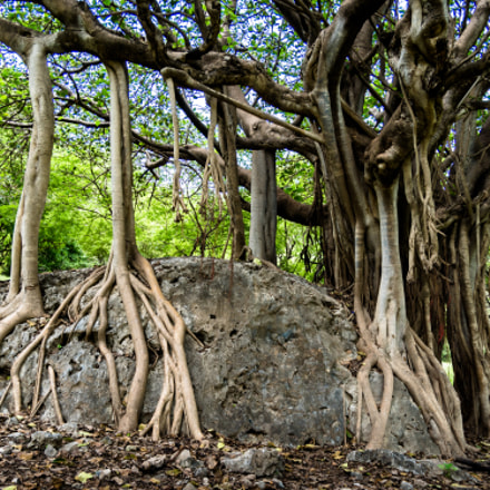Tree with Long Roots, Sony ILCA-77M2, Sigma 17-70mm F2.8-4.5 (D)