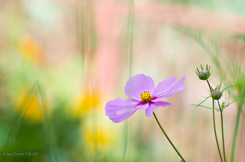 Photograph Cosmos and Four Yellow Dots by Anna Omiotek-Tott on 500px