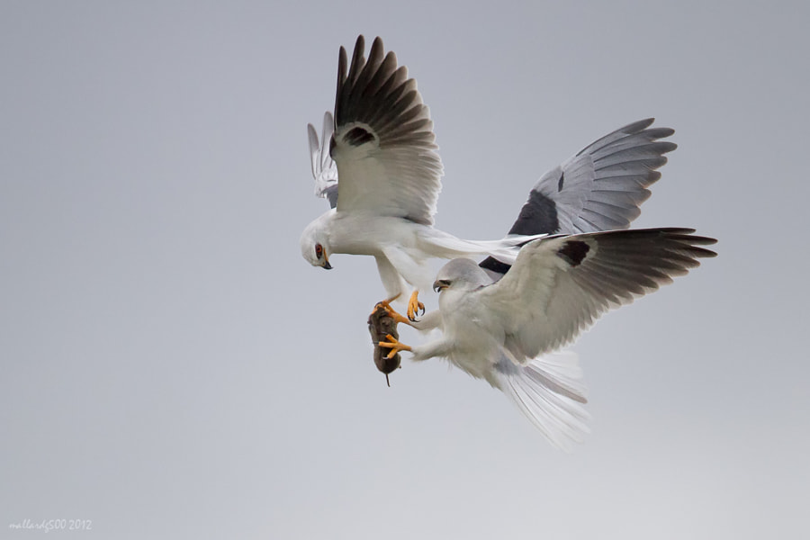 Photograph White-tailed Kite Food Exchange by Phoo (mallardg500) Chan on 500px