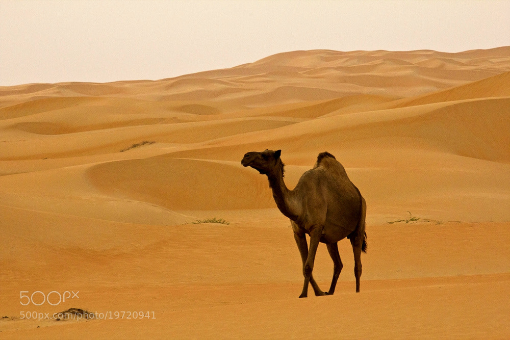 Photograph Camel....... by Gwiyun Park on 500px