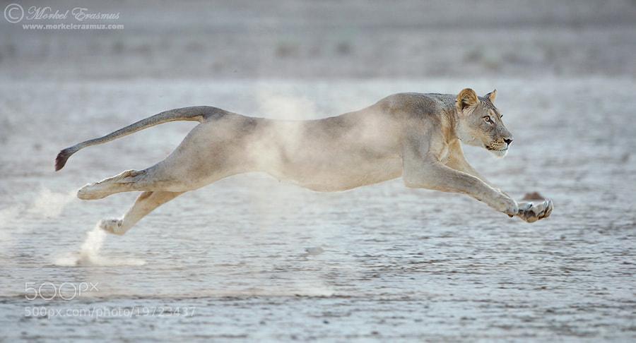 Photograph Lion in Flight by Morkel Erasmus on 500px