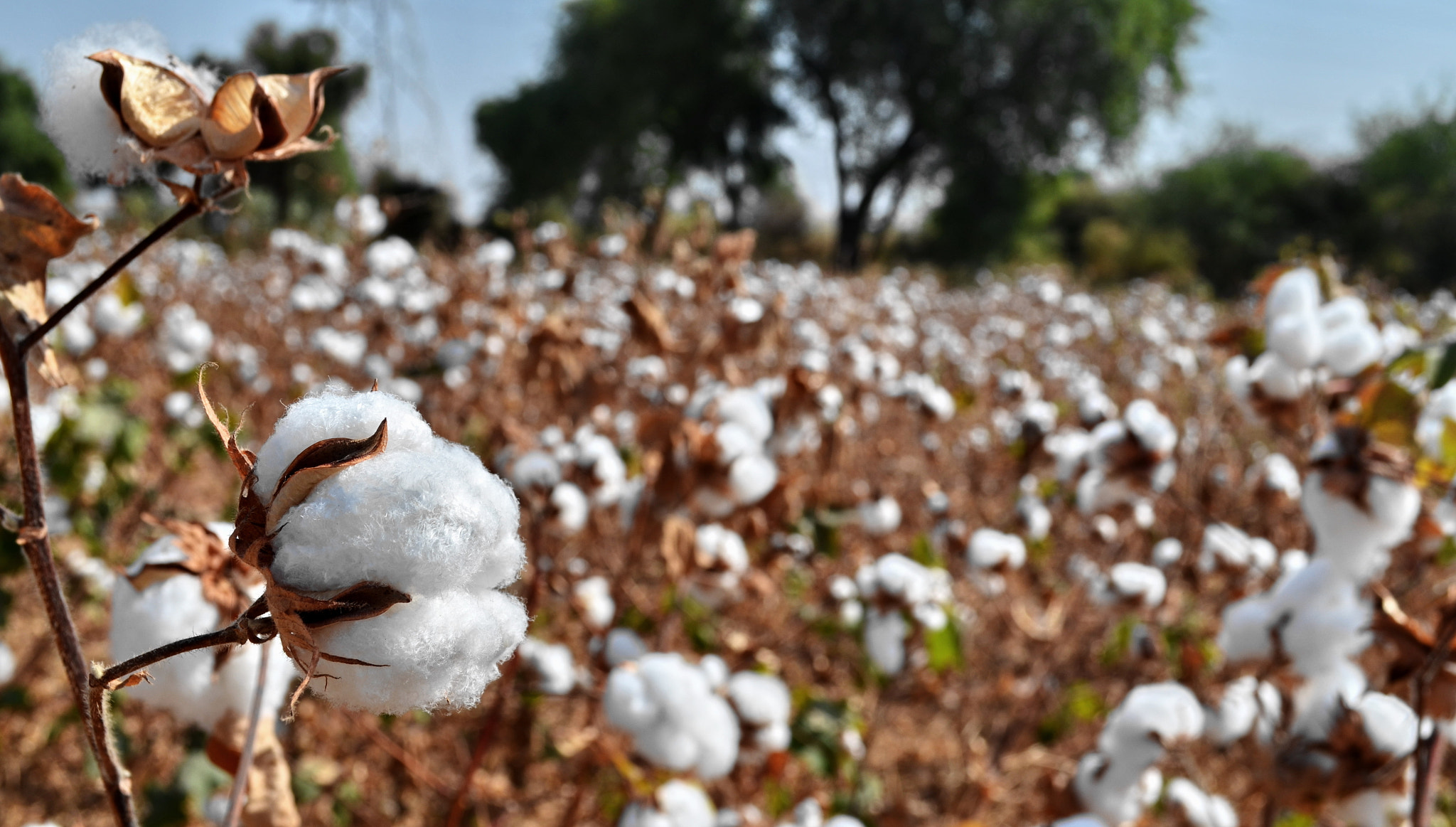 Photograph Cotton by Shishir Agrawal on 500px