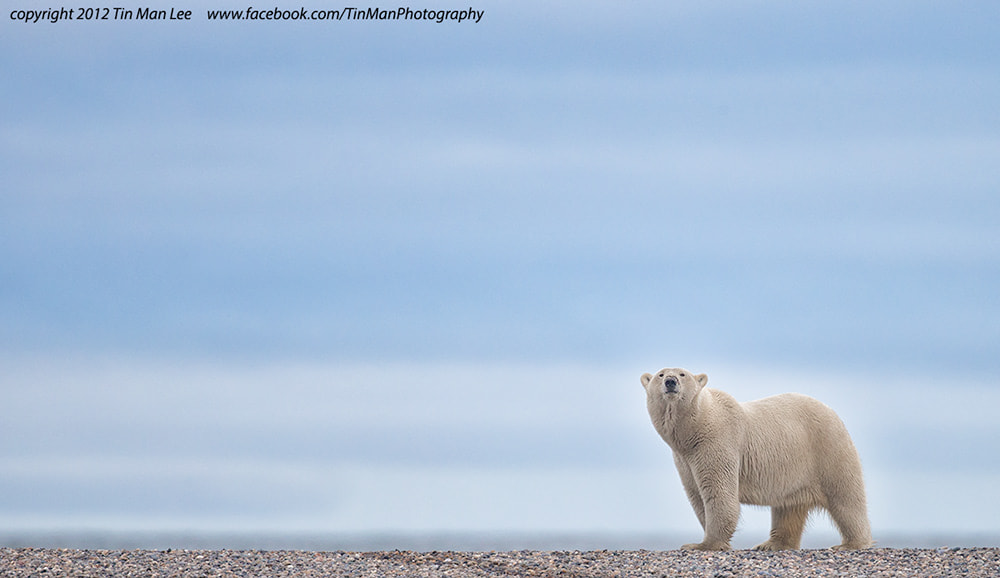 Photograph Polar Bear Walking By by Tin Man on 500px