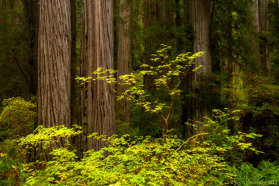 Photograph Redwoods and Vine Maples by Scott  Smorra on 500px