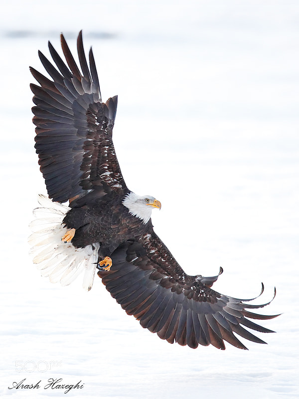 eagle attack - photo #27