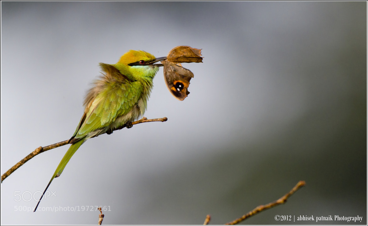 Photograph The Butter-Fly That Didn't Fly Much by Abhisek Patnaik on 500px