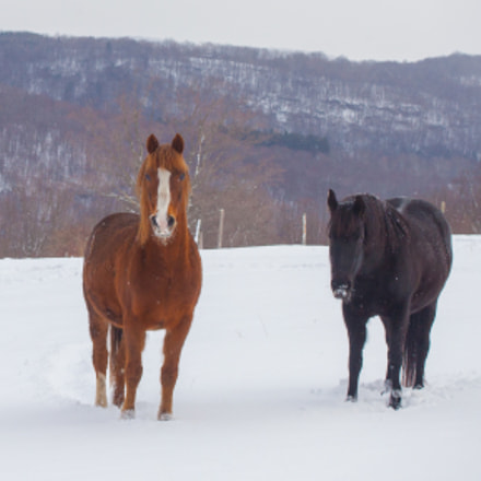 Horses In The Snow, Canon EOS 5D MARK II, Canon EF 28-80mm f/3.5-5.6 USM