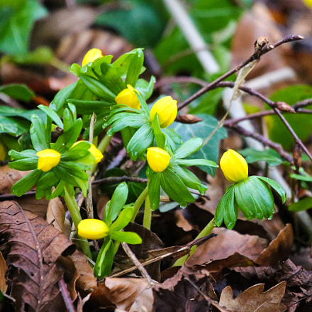 Aconites in bud, Canon EOS 6D, Canon EF 100-400mm f/4.5-5.6L IS USM