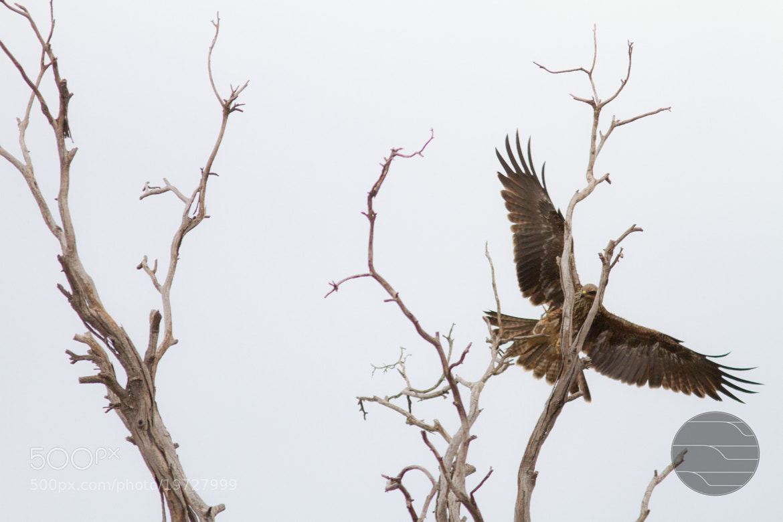 Photograph brown falcon (falco berigora) by Jasiah Ulbricht on 500px
