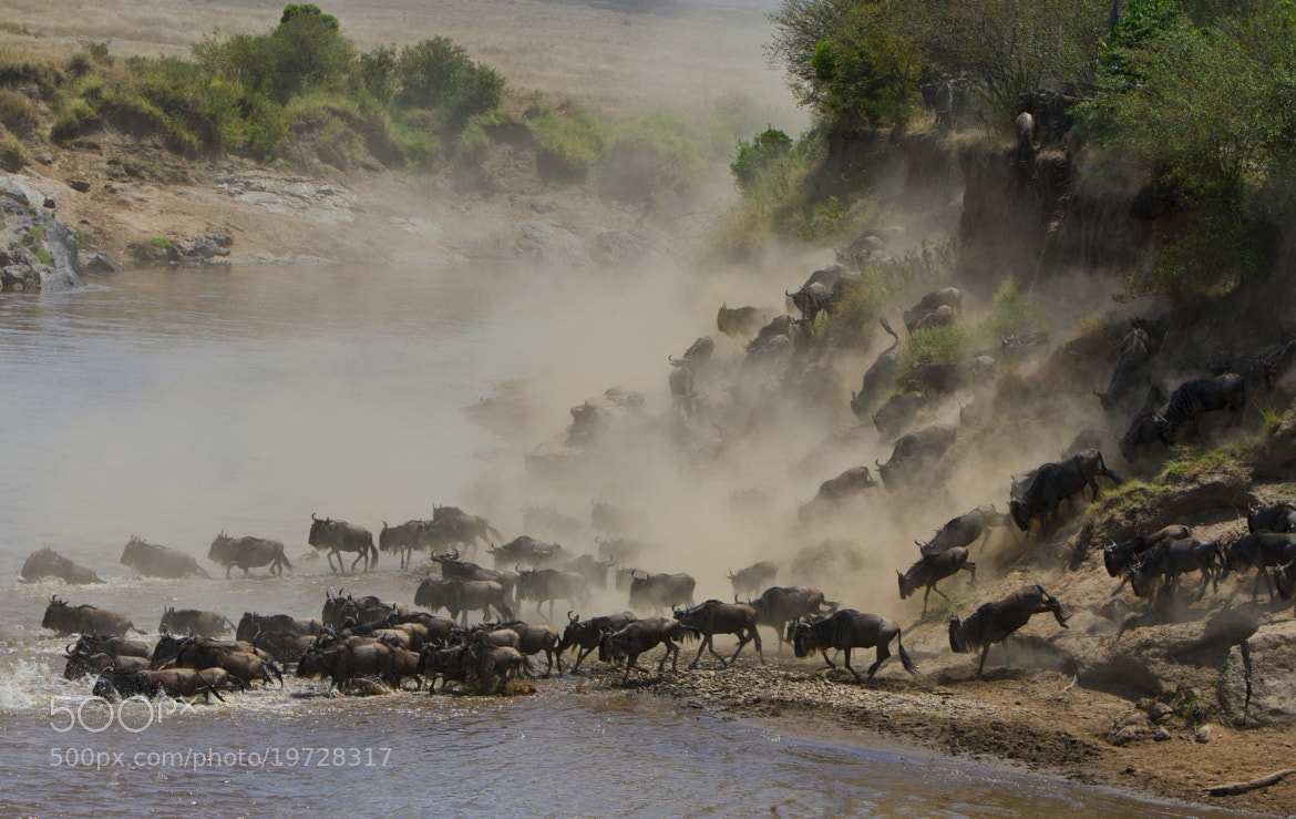 Photograph Blue Wildebeest by Ying-Ko Feng on 500px