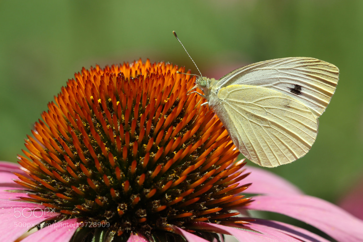 Photograph Cabbage White and Coneflower by Kenneth  Maurer on 500px