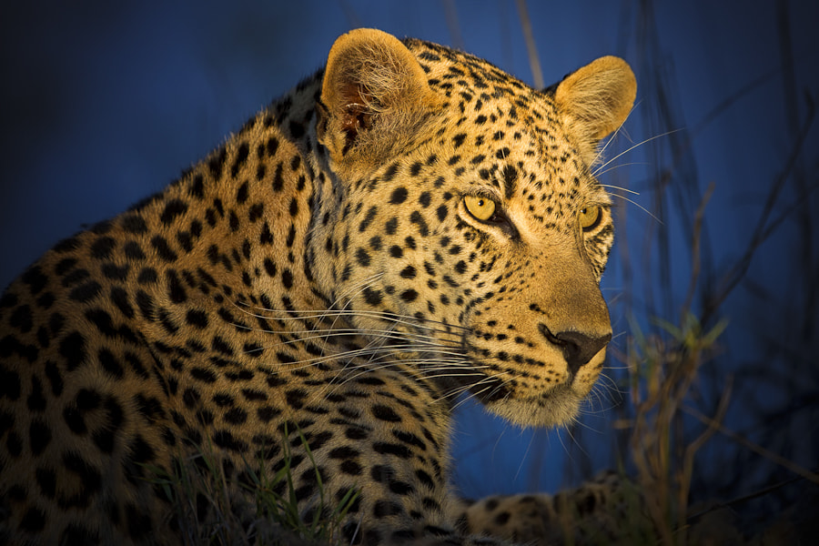 Photograph Leopard under the spotlight by Mario Moreno on 500px