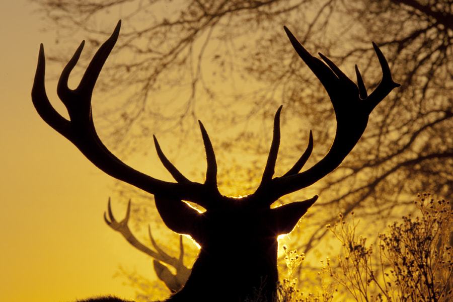 Photograph Stag in the sunrise by Ian Schofield on 500px