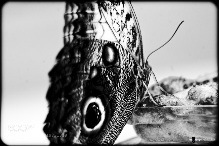 Photograph Buterfly Anatomy by PandaWicked  on 500px