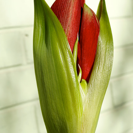 Amaryllis In Bloom, Sony ILCE-6000, Sony E 30mm F3.5