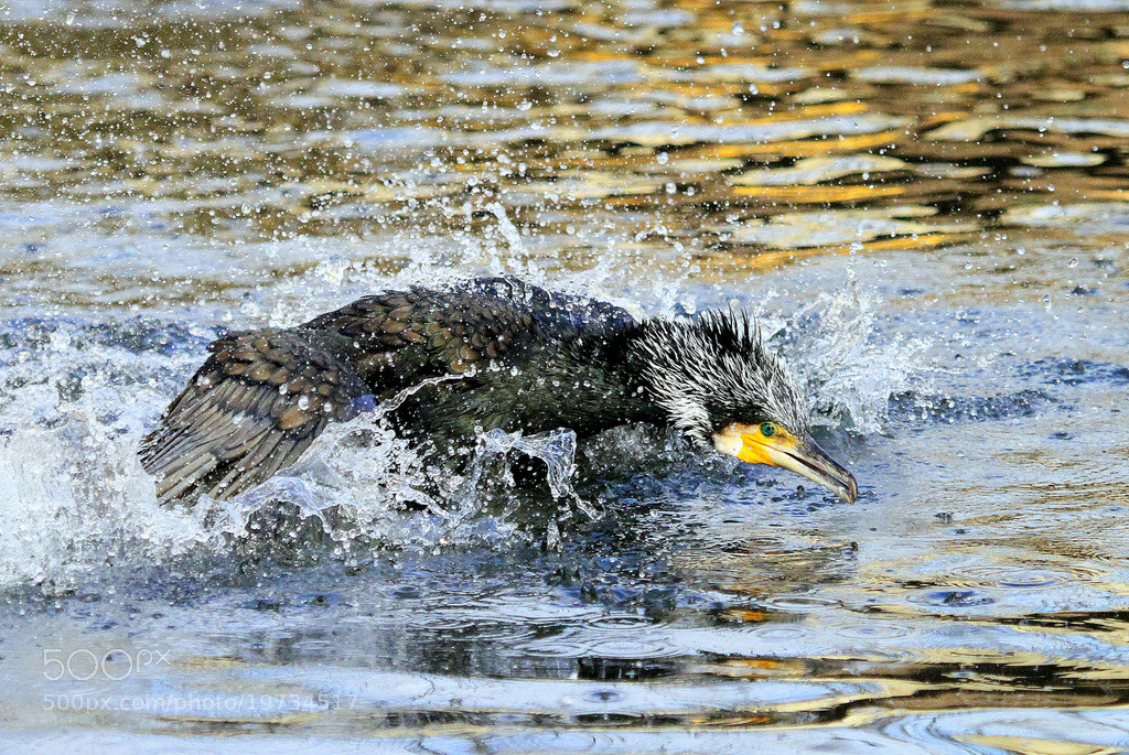 Photograph Splashing cormorant by Rainer Leiss on 500px