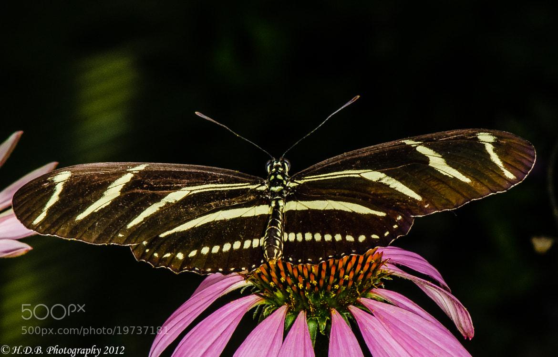 Photograph Zebra Butterfly by Harold Begun on 500px