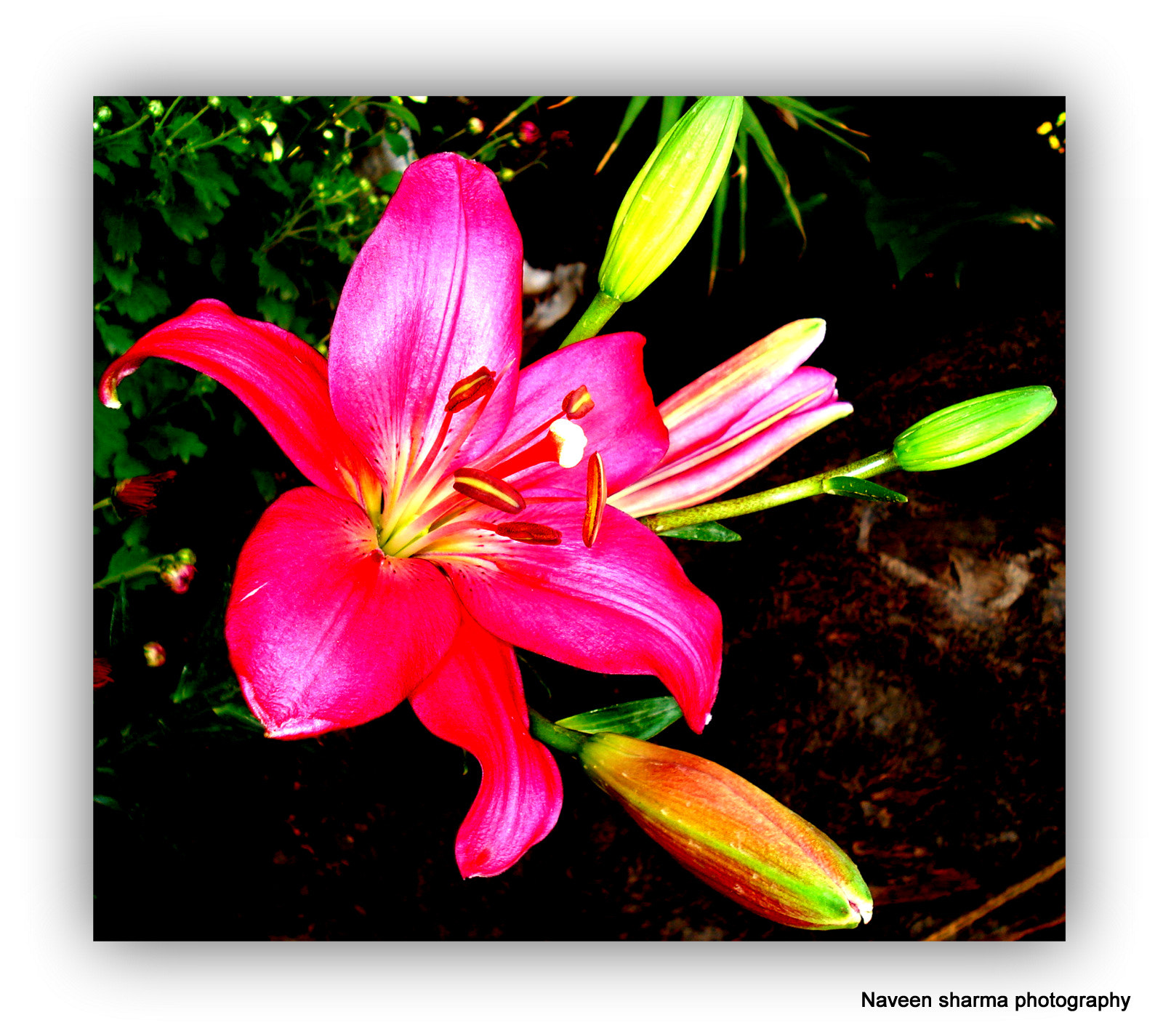 Photograph LILIES N ITS BUDS by naveen sharma on 500px