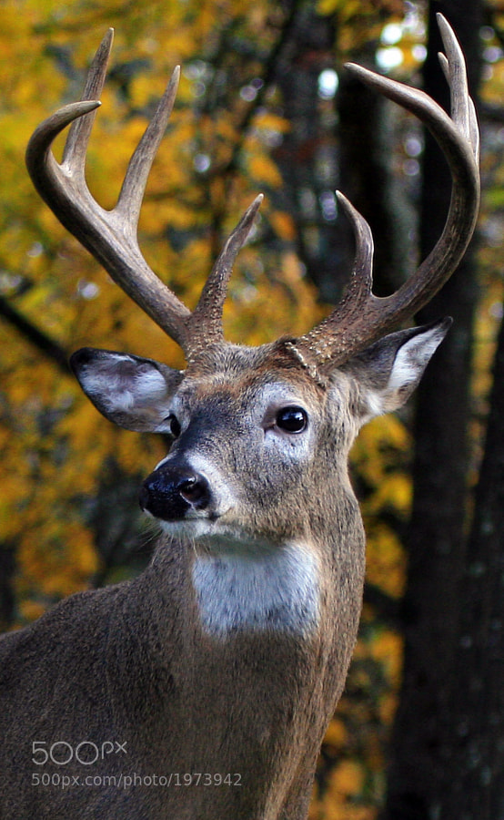 This White Tail Deer Buck was photographed in the Big Meadows area of the Shenandoah National Park.