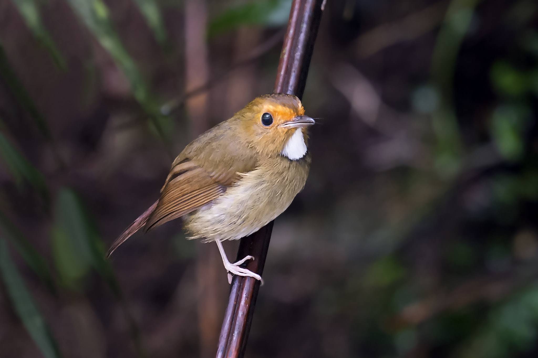 Photograph Rufous-browed Flycatcher by Allan Seah on 500px
