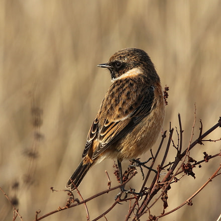 Stonechat, Canon EOS 7D MARK II, Sigma 150-600mm f/5-6.3 DG OS HSM | S