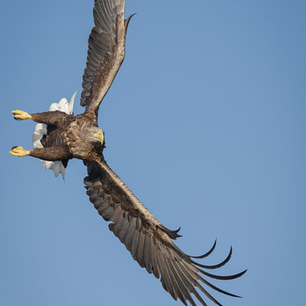 White-tailed eagle turning, Canon EOS-1D X, Canon EF 200-400mm f/4L IS USM