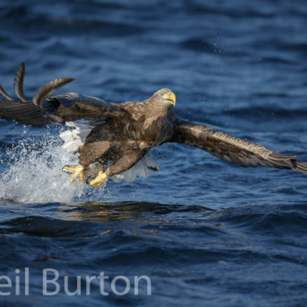 White-tailed eagle snatching a, Canon EOS-1D X, Canon EF 200-400mm f/4L IS USM