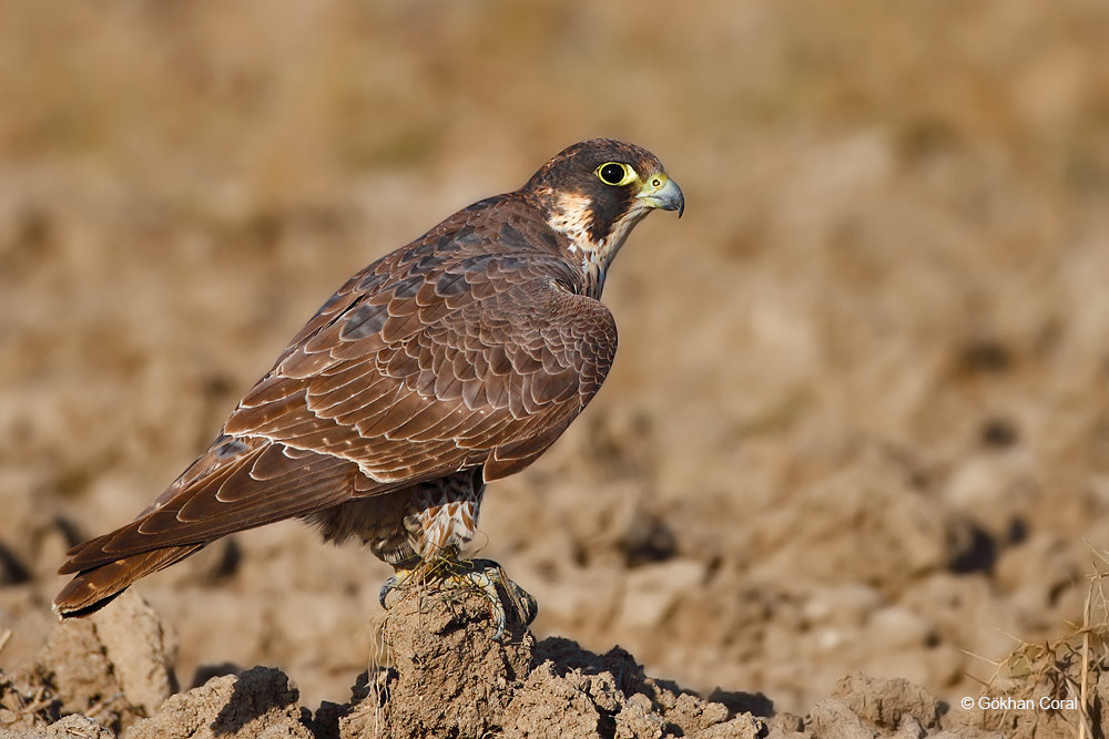 Photograph Peregrine falcon by Gökhan CORAL on 500px