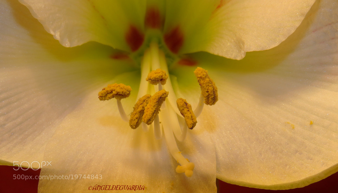 Photograph *Amaryllis-2* by ÁngelDeGuardia * on 500px