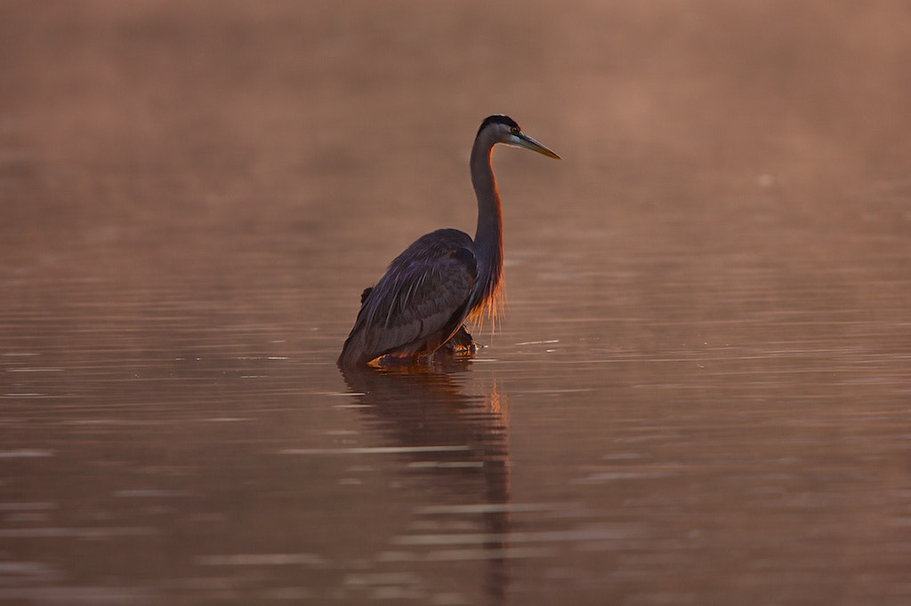 Photograph Great Blue Heron In Red by Buck Shreck on 500px