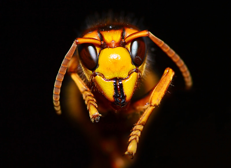 Photograph Hornet by Bu Balus on 500px