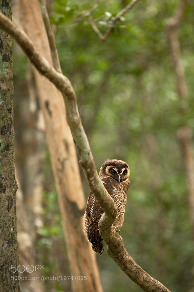 Photograph Brown Wood Owl by Rohit Varma on 500px