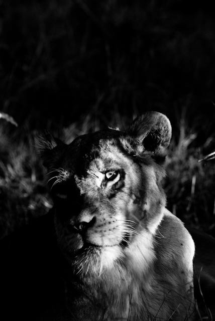 Photograph Othawa Lioness by Andrew Gaylord on 500px