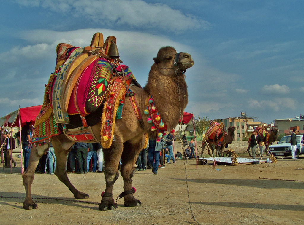 Photograph Camel Wrestling by Metin Canbalaban on 500px