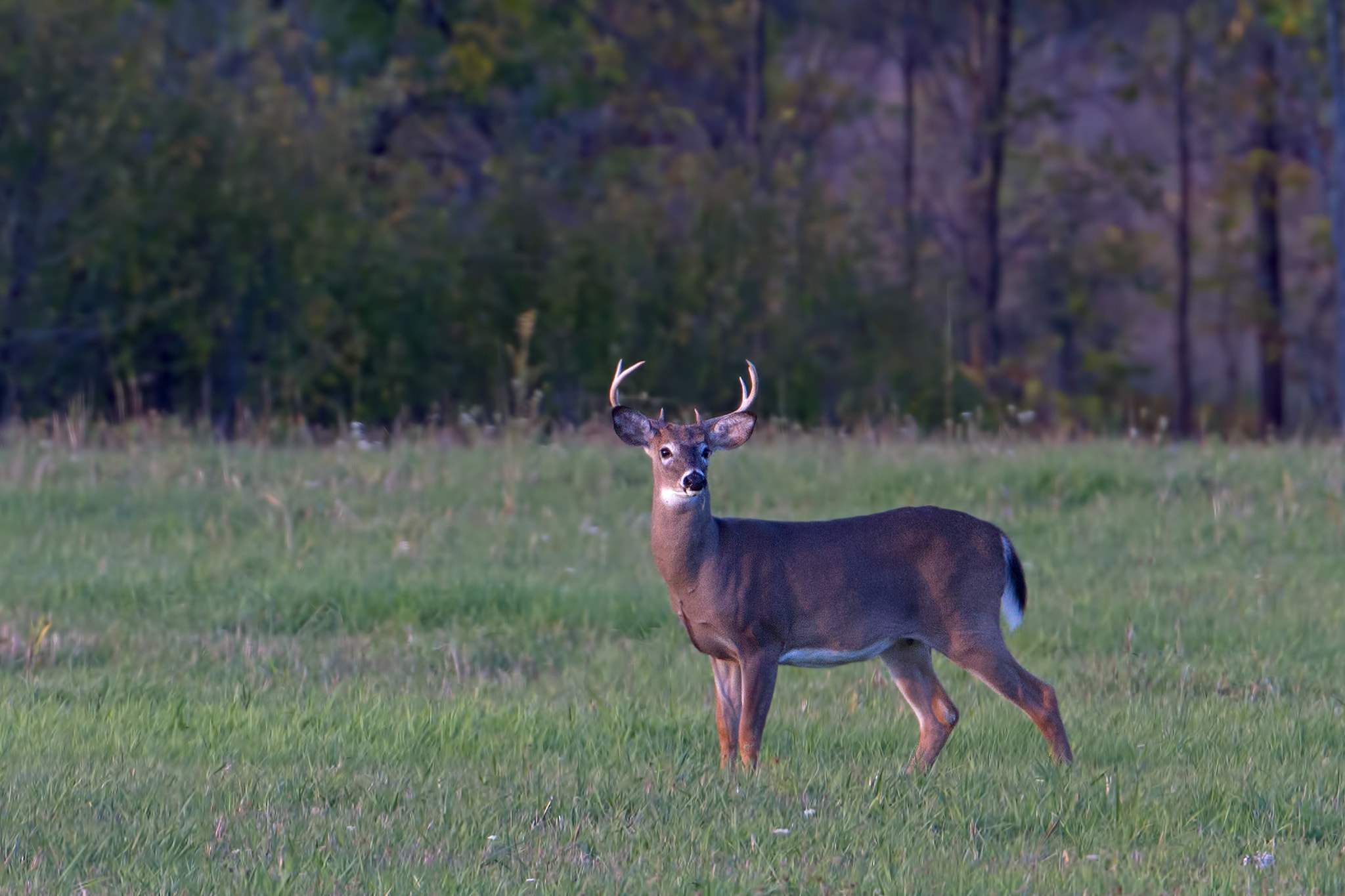 Photograph September Buck - White-tailed deer by Jim Cumming on 500px