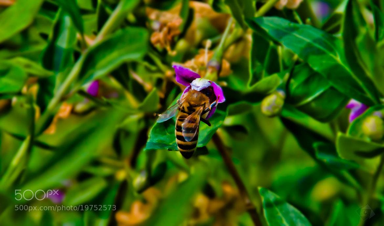Photograph Honey Bee . . . ? by Kaloian Koravski on 500px
