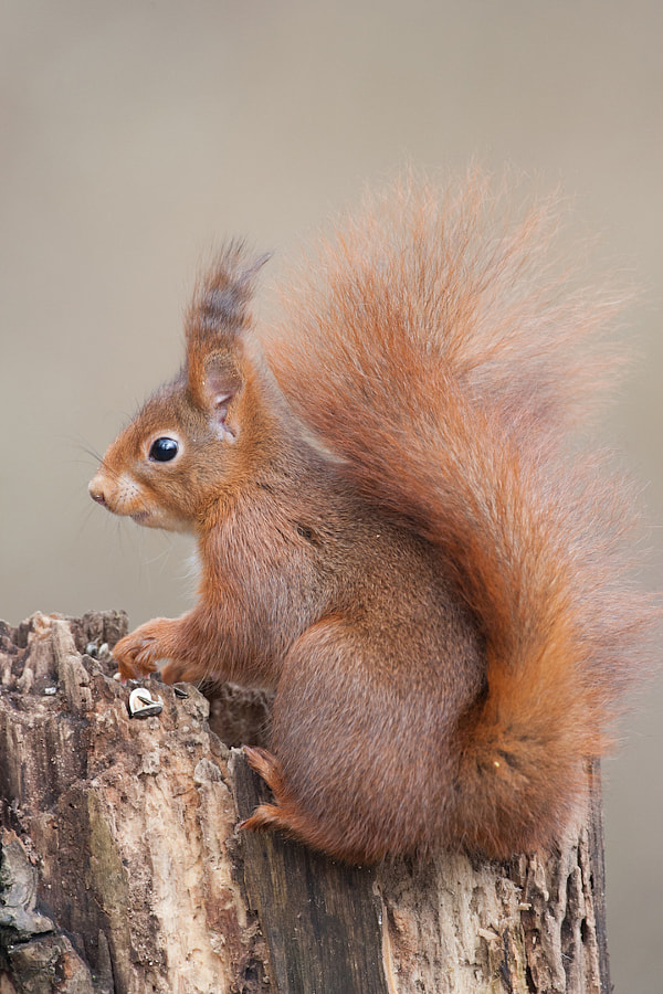 Squirrel de David Chambon sur 500px.com