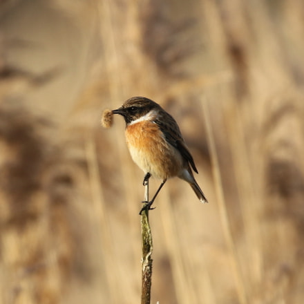 Stonechat with grub, Canon EOS 7D MARK II, Sigma 150-600mm f/5-6.3 DG OS HSM | S