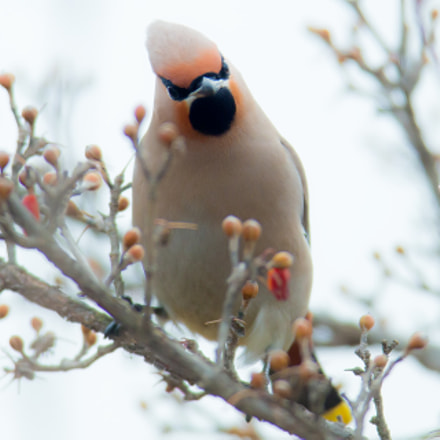 Bohemian Waxwing, Canon EOS-1D X, Canon EF 600mm f/4L IS + 1.4x