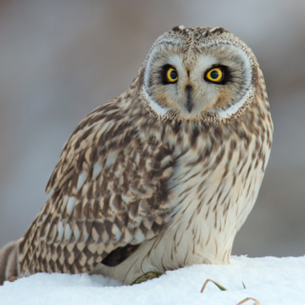 short-eared owl, Canon EOS-1D X, Canon EF 600mm f/4L IS + 1.4x